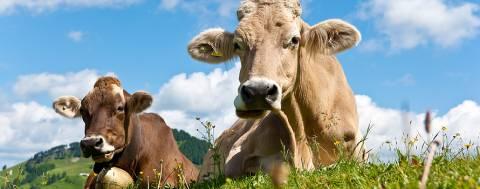 Udder hygiene - © gandolf - Fotolia.com
